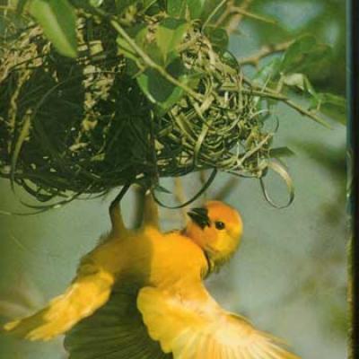 Les oiseaux Recherches sur leurs comportements par J.Nicolai